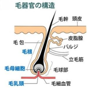 小さな毛器官