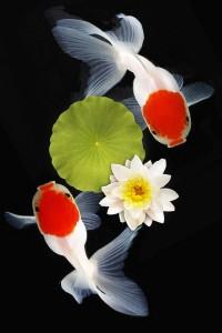 金魚-102-3