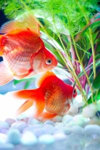 金魚-109