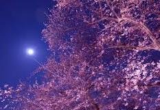 夜桜10-1