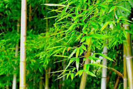 笹の葉10-1